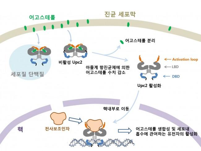 항생제 때문에 진균 속 어고스테롤 양이 줄면 Upc2가 활성화돼 어고스테롤 합성에 관여하는 유전자를 더 발현시켜 항생제에 적응하게 만든다. - 전남대 제공